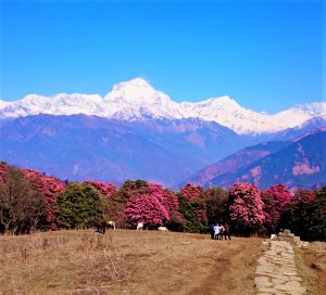 A blanket of Rhododendron Flowers in Ghorepani with amazing view of Dhaulagiri - Trekking in Nepal for 2021