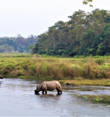 One horned rhino drinking water at Chitwan National Park Tour